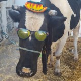 bagra-krowa-2